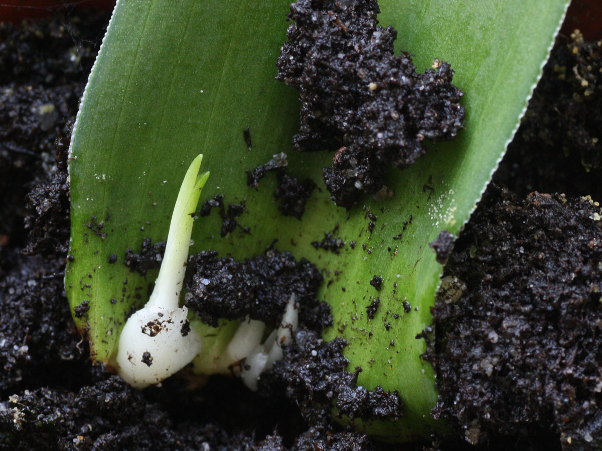 Eucomis leaf cutting